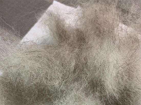 琥大朗の換毛期の抜け毛