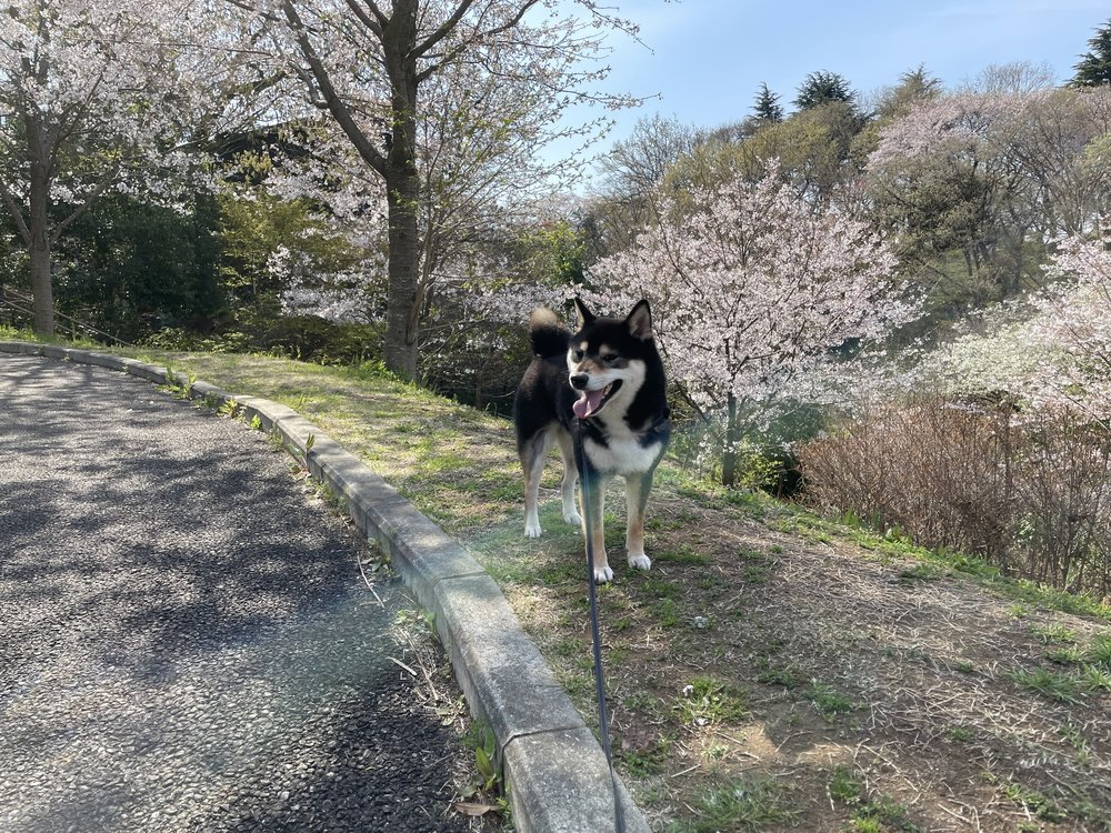 【東京都多摩市】都立桜ヶ丘公園・ゆうひの丘でお花見散歩
