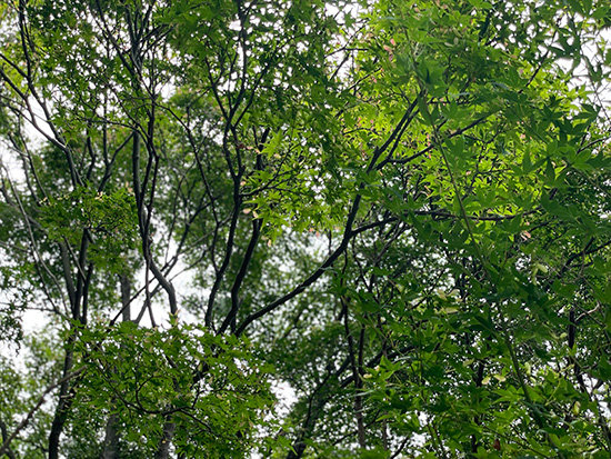 昭和記念公園の青々とした紅葉